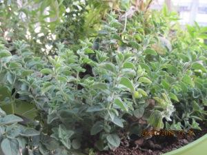 אורגנו בגינת התבלינים באדניות אורגנו בגינת התבלינים באדניות שלישלי